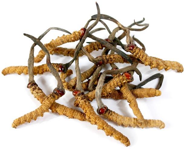 Kordicepso micelės